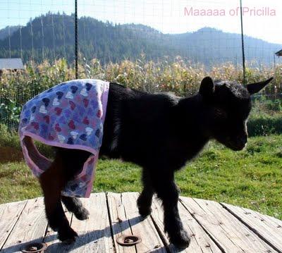 real nanny goat in panties