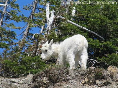 goat kid in glacier park