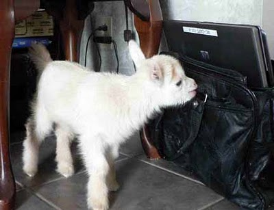 goat and laptop briefcase
