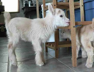 goats playing in kitchen