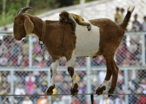 monkey on goat on tightrope