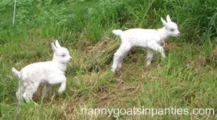surfing goat dairy kids