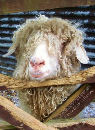 angora goat in UK