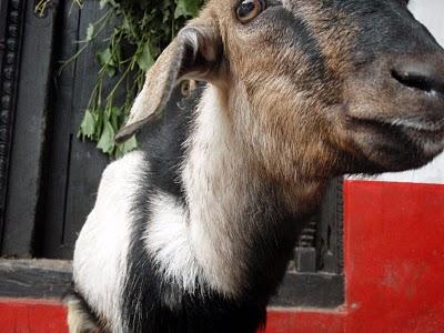 goat in nepal