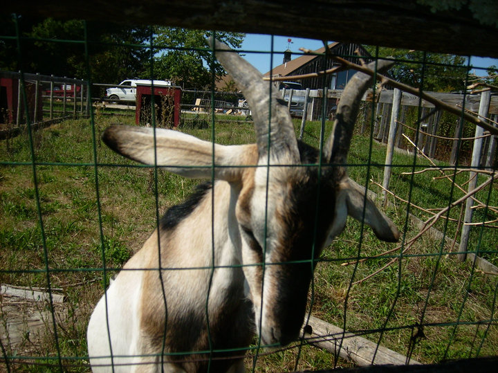 goat at Brookdale Farms