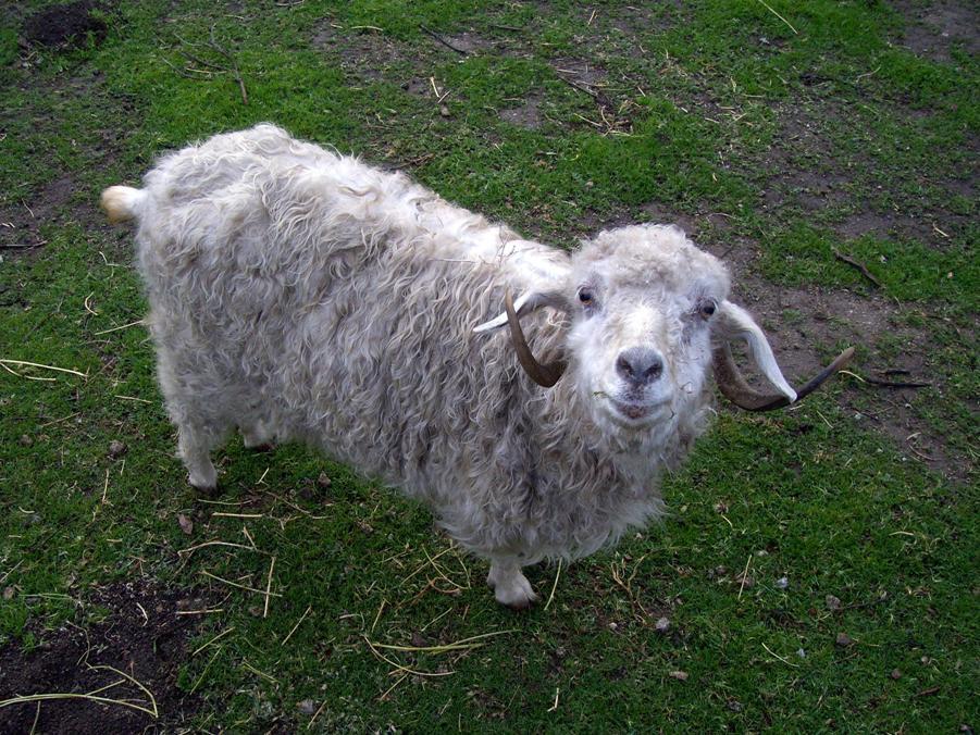 Mathilda, the Angora goat