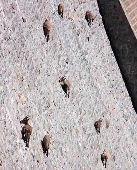 italy goats dam close up