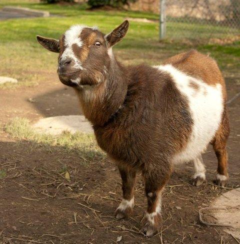 Twilight Goat from Irish Gumbo