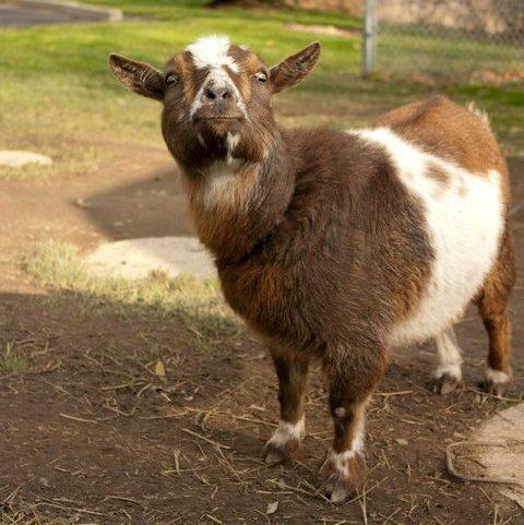 Twilight Goat from Kevin of Irish Gumbo