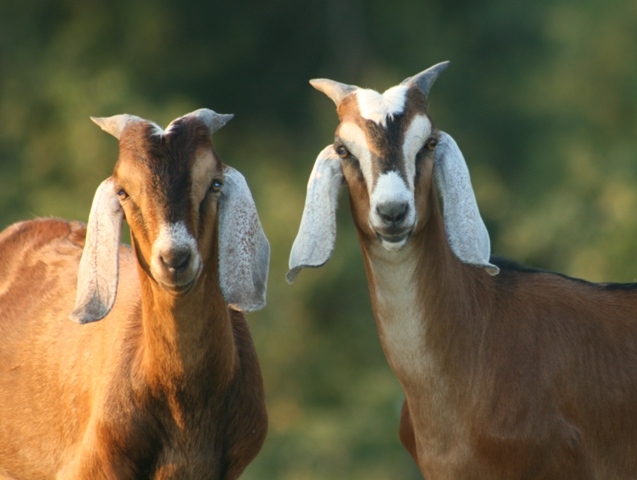 Goat Thing of the Day: Beam Me Up Goaty