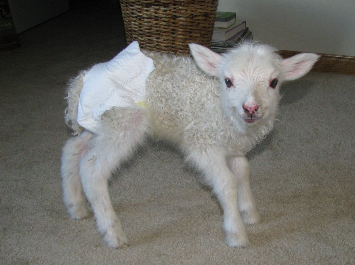 Goat In Diapers 1 Nanny Goats In Panties Nanny Goats