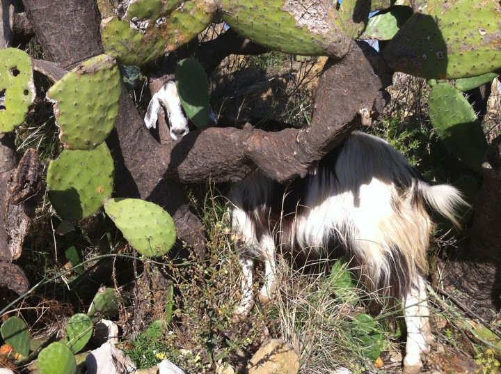 Goat Thing of the Day: Sicily