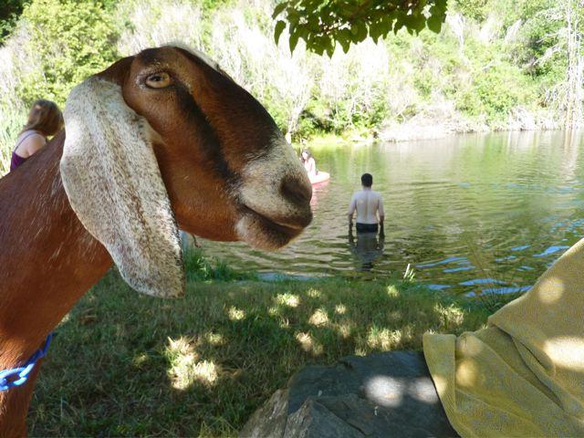 goat pictures, nubian goats, nubian goat pictures