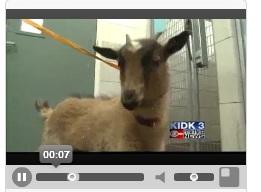 goat, goat photo, goat idaho, goat beethoven, goat piano store