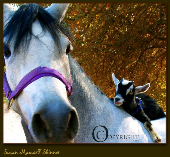 goat and horse picture, susan maxwell skinner