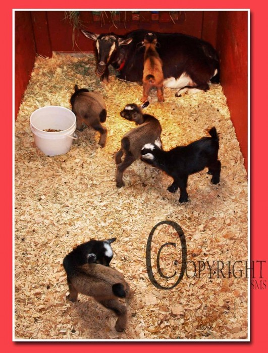 Goat Thing of the Day: Quintuplets? Wow!
