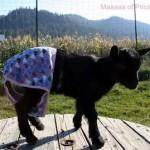 goat, panties, underwear