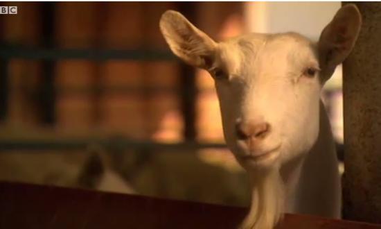 goat spider silk, goat milk