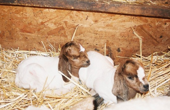 baby goats, goat kids, pie belle