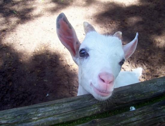 goat, cute goat