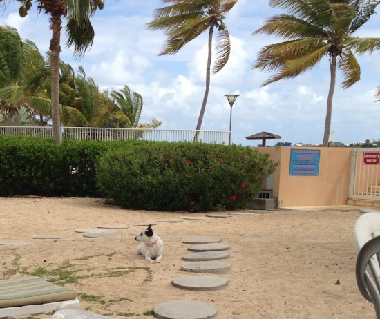 dog, beach, st martin