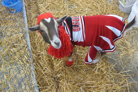 goat cheerleader, goatalympics, new moon farm