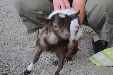 goatalympics, baby goat