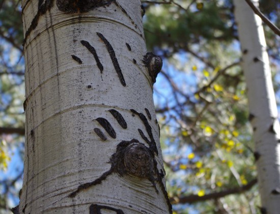 bear claw, quaking aspen, tree