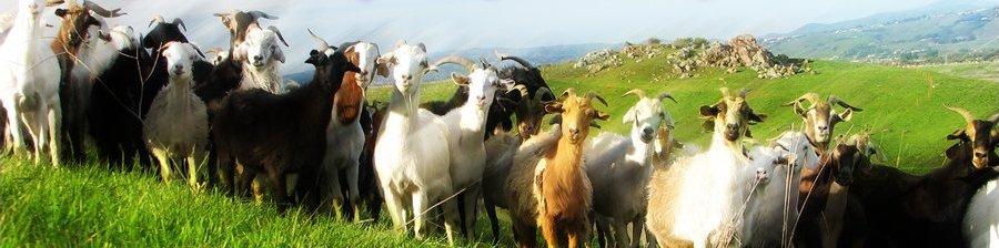 Nanny Goats in Panties Rotating Header Image