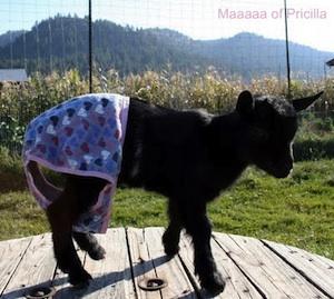 nanny, goat, panties