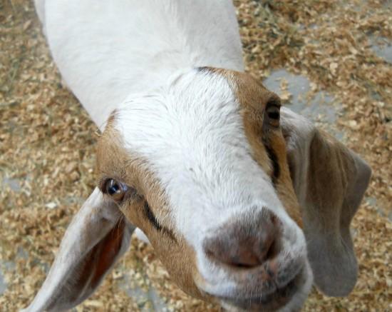 goat state fair